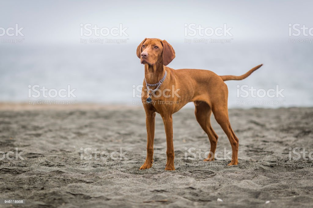 little hunting dog Hungarian Vizslaa playing on the sand on the beach and having fun and posing. stock photo