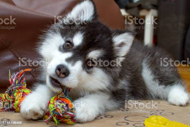 Little husky dog playing with rope toy picture id1144498455?b=1&k=6&m=1144498455&s=612x612&h=0p70ngzsofqaol4strwdjpjrs6agusc2d5lytwr71yq=