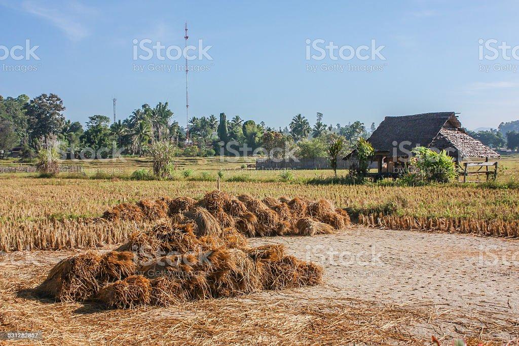 Little Hut In Rice Field stock photo