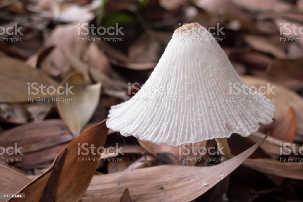 Little Inkcap mushroom on forest floor royalty-free stock photo