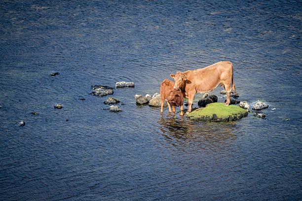 little island with cows - rettungsinsel stock-fotos und bilder