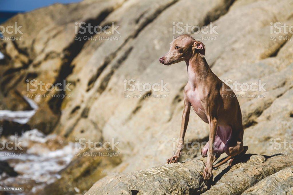 Little italian greyhound dog in the beach stock photo