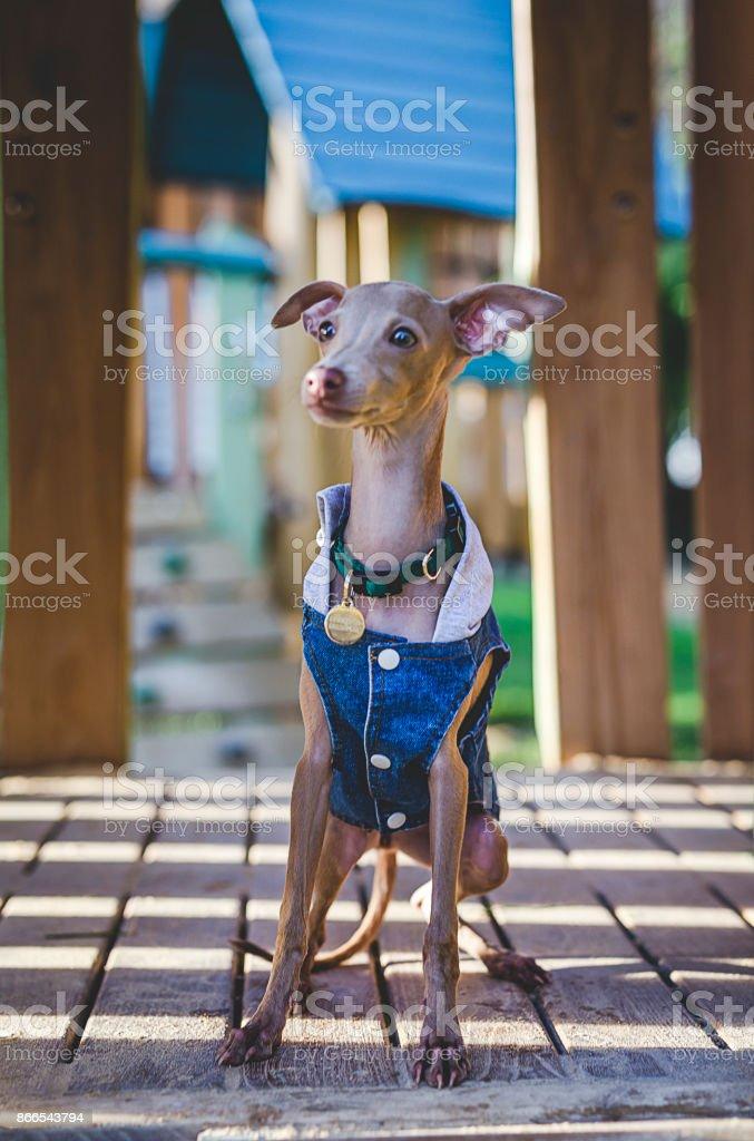 Little italian greyhound in the field stock photo