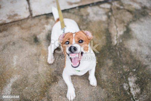 Little Jack Russell Terrier dog Aggressive is barking
