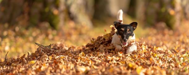 Little Jack Russell Terrier Hund hat viel Spaß in Herbstblättern und spielt allein mit Blättern – Foto