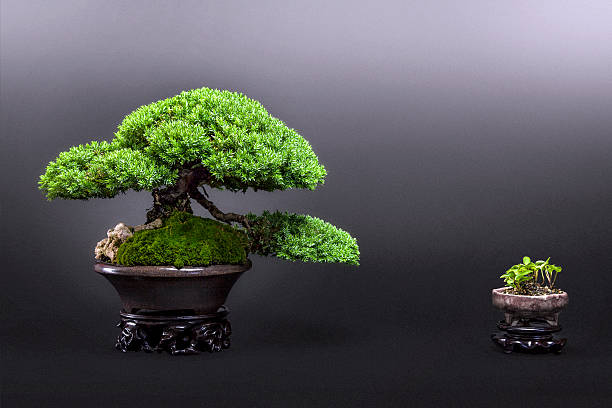 Little Juniper Bonsai – Foto