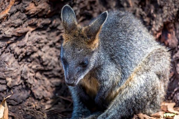 Kleines Känguru - auch Wallaby genannt - in der Wildnis von Victoria Australien während eines sonnigen und heißen Tages im Sommer. – Foto