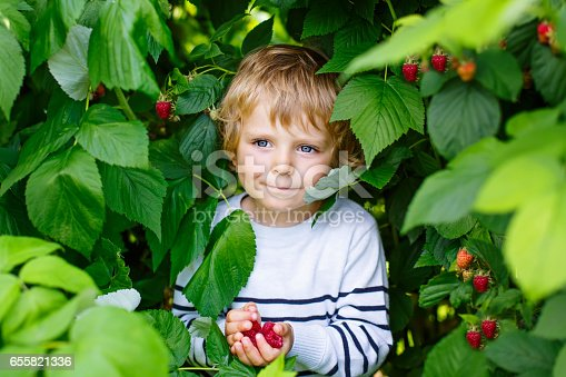 Cute little kid boy picking fresh berries on raspberry field. Child pick healthy food on organic farm. Little toddler boy play outdoors in fruit orchard. Preschooler gardening. Family having summer fun