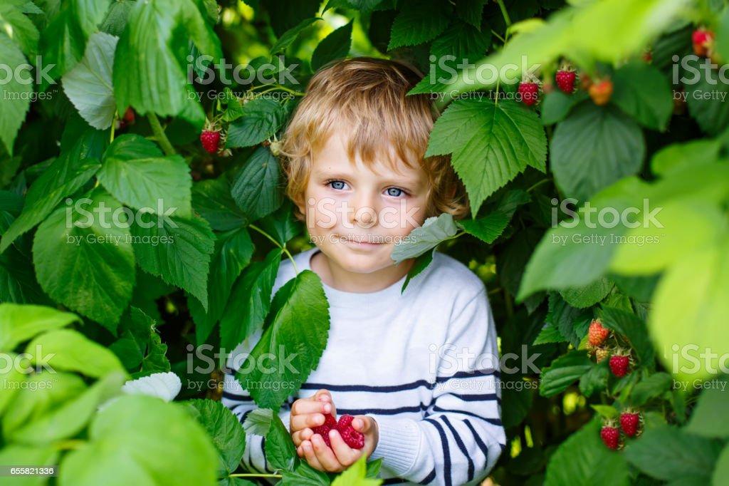 little kid boy picking fresh berries on organic raspberry field farm stock photo