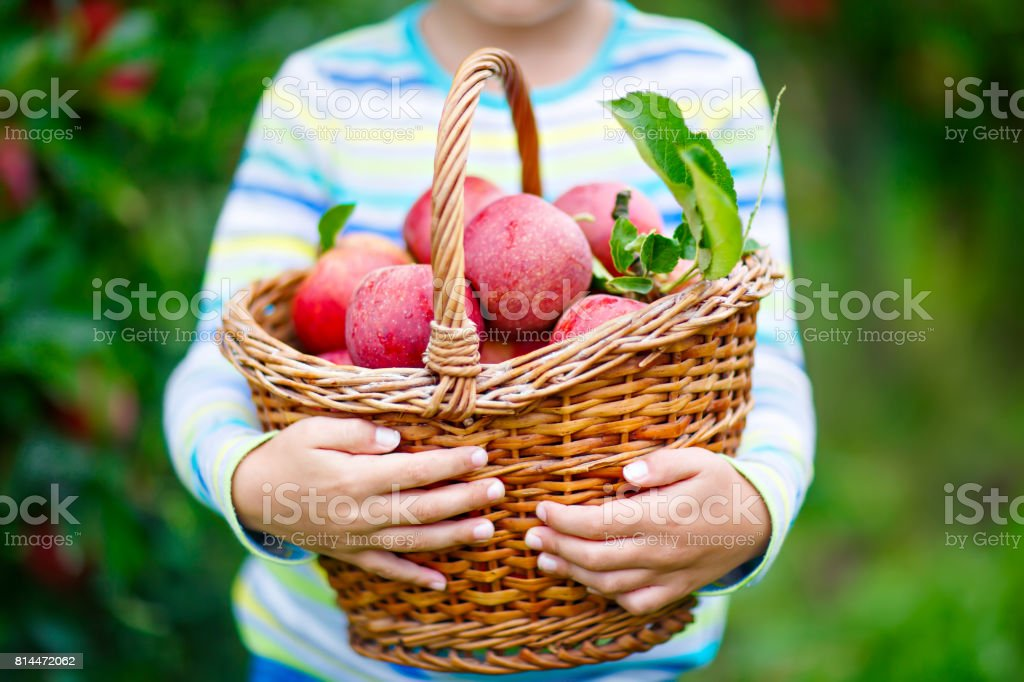 Little kid boy picking red apples on farm autumn stock photo