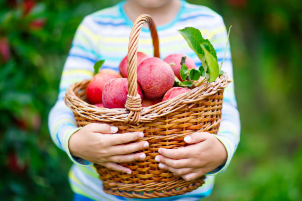 little kid boy picking red apples on farm autumn - picking stock photos and pictures