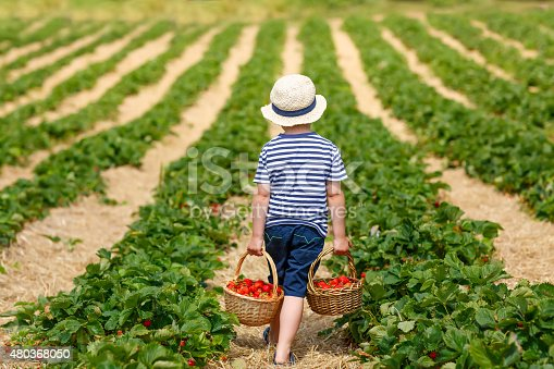 istock Little kid boy picking strawberries on farm, outdoors. 480368050