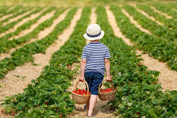 pequena criança menino escolher morangos em exploração, ao ar livre. - picking fruit imagens e fotografias de stock