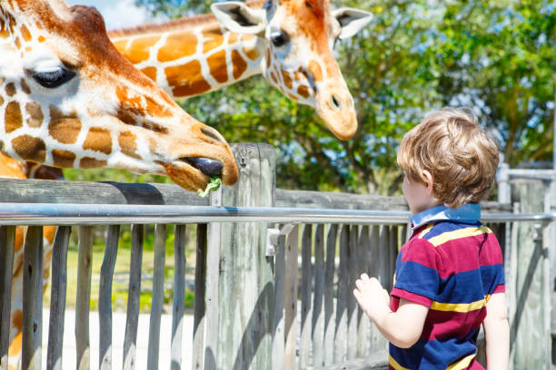 Kleiner Junge, der Giraffen im Zoo beobachtet und füttert. Happy child, das sich am warmen Sommertag mit dem Safaripark der Tiere vergnügen hat – Foto