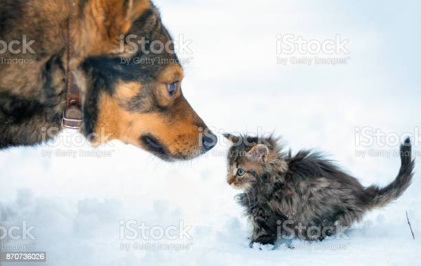 Little kitten and big dog playing together in the snow picture id870736026?b=1&k=6&m=870736026&s=612x612&h=qwykmarbq29tl8z0jj35ovwsthwbewnpurb24byitpu=