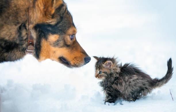 Little kitten and big dog playing together in the snow picture id870736026?b=1&k=6&m=870736026&s=612x612&w=0&h=b5phkkhfjl39u wwfayxwot5biilzosdvkosyimyvpq=