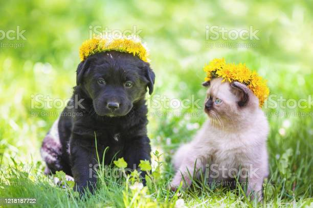 Little kitten and puppy crowned a wreath of dandelion sitting on the picture id1218187722?b=1&k=6&m=1218187722&s=612x612&h=phd euf 0ij2aayczpf9672kjh4obhxz 8m  k3lejy=