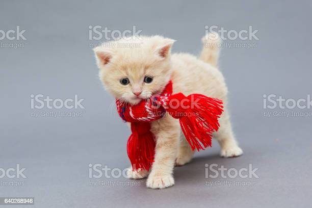 Little kitten british breed with a beautiful scarf picture id640268946?b=1&k=6&m=640268946&s=612x612&h=gr5h8kebmzelw6mlvkym3vicjwa6pnaozzf8d 5mmsa=