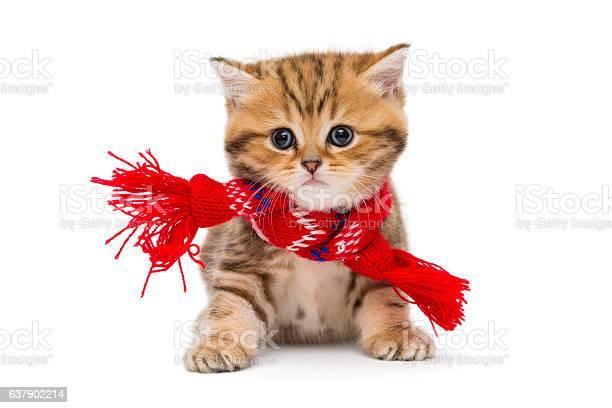 Little kitten british marble in a red scarf picture id637902214?b=1&k=6&m=637902214&s=612x612&h=9qoxioejhmei4cwwfxsff3cntepcq2h9jb2rfq3azko=