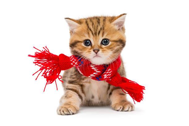 Little kitten british marble in a red scarf picture id637902214?b=1&k=6&m=637902214&s=612x612&w=0&h=bdzkdtm1wvfaesfjbonsnkjpko9 kfeccjpqnig6nko=