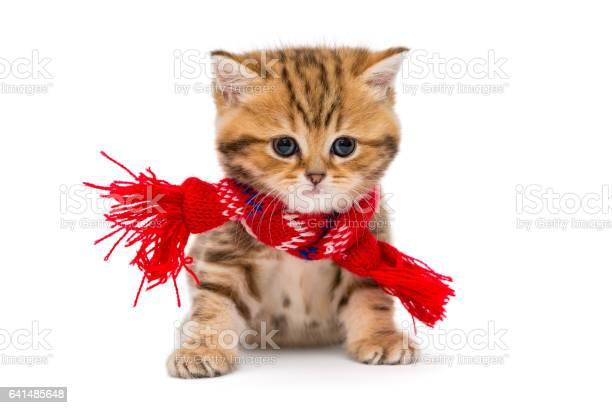 Little kitten british marble in a red scarf picture id641485648?b=1&k=6&m=641485648&s=612x612&h=lj9v2p llv27xp3rz flqsfqjtd7smcbgp2hndyw  q=