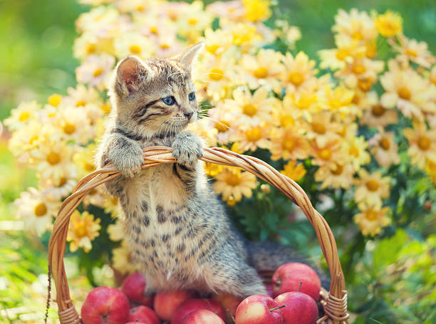 Little kitten in a basket with red apples picture id485485992?b=1&k=6&m=485485992&s=612x612&w=0&h=z29latkhjo6xe5rgbdcxatbh52bzxntlzpwa88f t8g=