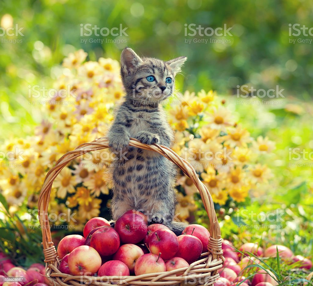 Little kitten in a basket with red apples stock photo