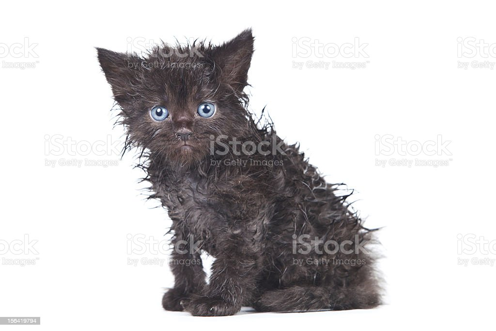 Little kitten in white background royalty-free stock photo