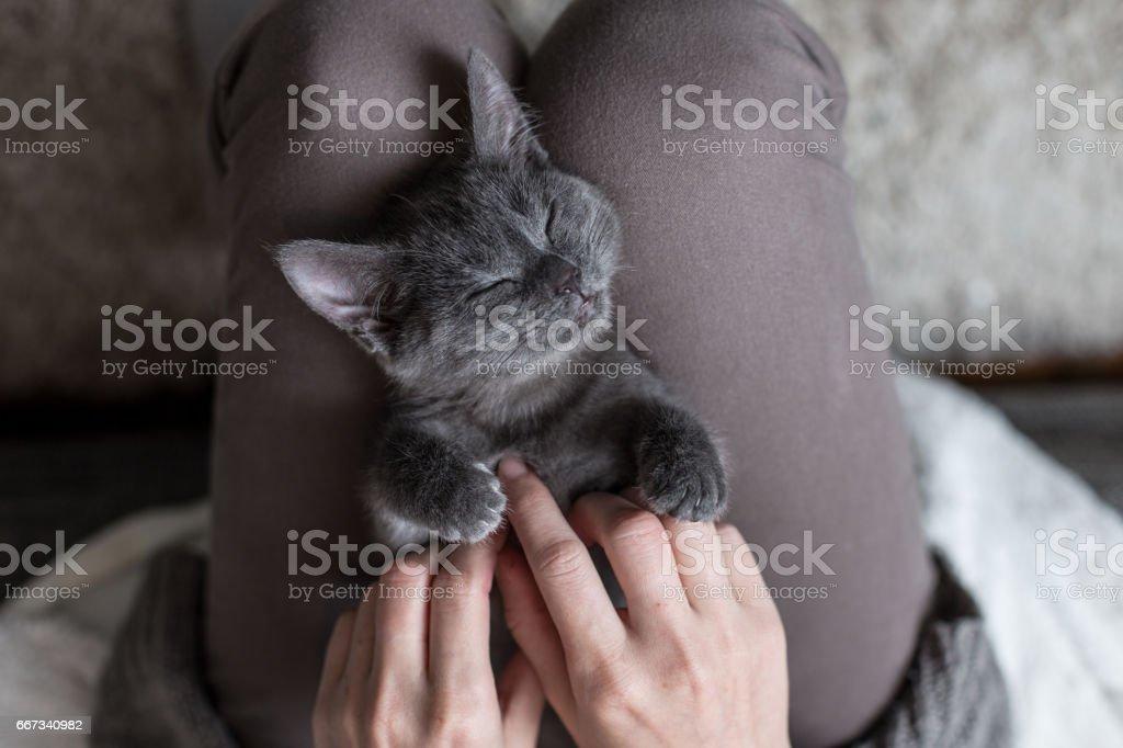 A little kitten is lying on the lap stock photo