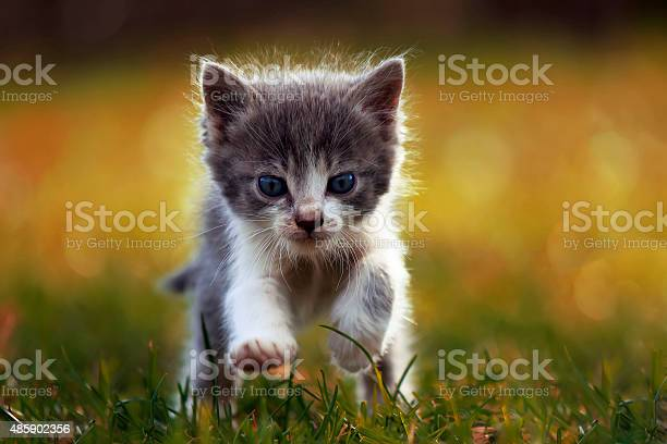 Little kitten is running picture id485902356?b=1&k=6&m=485902356&s=612x612&h=s y 2nyvwhqip4cp35z9vmckuqyspinubxsbzte77h0=