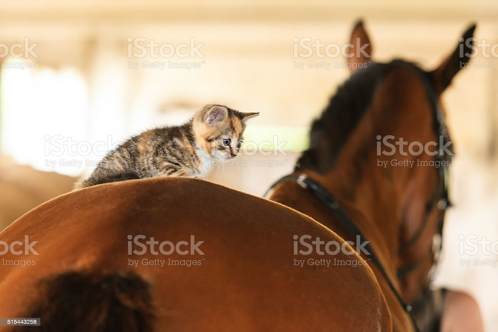 Little kitten kitty cat animal on horse horseback stock photo