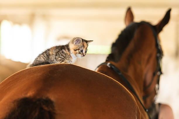 Little kitten kitty cat animal on horse horseback stock photo