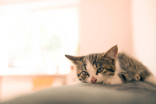 Little kitten lying on a coverlet. Small cat sleeps sweetly as a small bed. Sleeping cat in home on a blur light background. Cats rest after eating. – zdjęcie