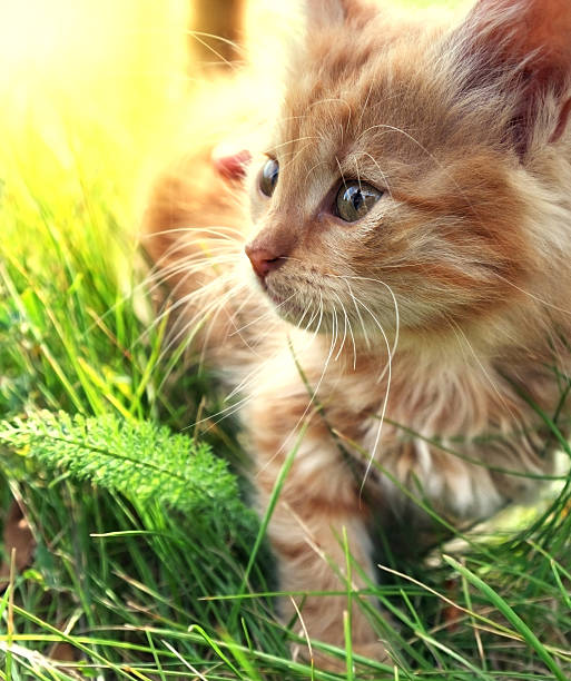 Little kitten on green grass picture id628895766?b=1&k=6&m=628895766&s=612x612&w=0&h=thjfzjf5sfwurn1wkh eq2wahf52i6uoh rmwil0uq8=