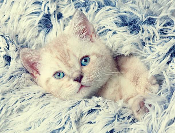 Little kitten peeking out from under the blue blanket picture id579738990?b=1&k=6&m=579738990&s=612x612&w=0&h=3mgg8au1hq55d8rrxk3gjbfhat0kdwr  ogrzbpjklo=