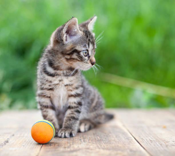 Little kitten playing and enjoys with orange ball in back yard picture id1277043868?b=1&k=6&m=1277043868&s=612x612&w=0&h=fy0scofoxntkuxd7bqkaluvbi6 hrqsed 7zw3ob1ta=