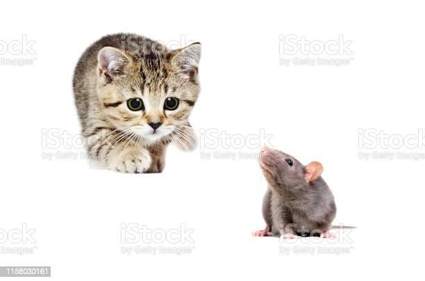 Little kitten scottish straight hunts gray rat picture id1158030161?b=1&k=6&m=1158030161&s=612x612&h=rf0kzl2771 boh7wm bfqstxhdl3iplvcksfsf0ep4k=