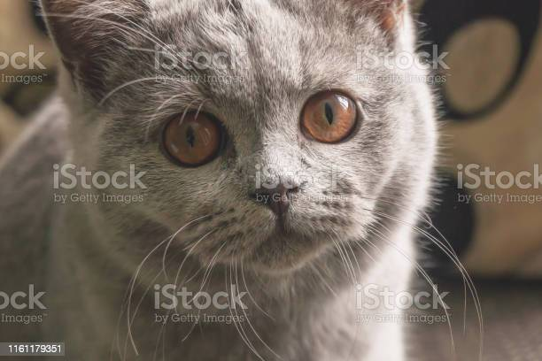 Little kitten sits on the couch and looks into the camera lens while picture id1161179351?b=1&k=6&m=1161179351&s=612x612&h=8tdty1ck2lmyswa1sozeo8j3o76jwwqwsrcsjhdcw u=