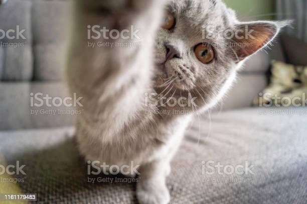 Little kitten sits on the couch and looks into the camera lens while picture id1161179483?b=1&k=6&m=1161179483&s=612x612&h=blindm338t48mzlaauw7xr bxjnpvj 13m39sowcvnk=