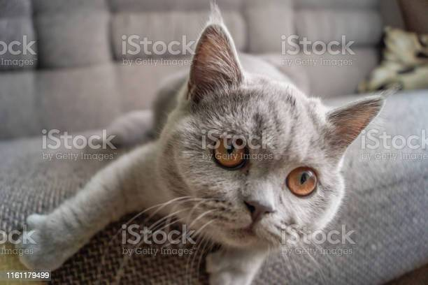 Little kitten sits on the couch and looks into the camera lens while picture id1161179499?b=1&k=6&m=1161179499&s=612x612&h=tt2wppufhtgnw5cx4hattg6jzdgxezdbv0 xbsz tp8=