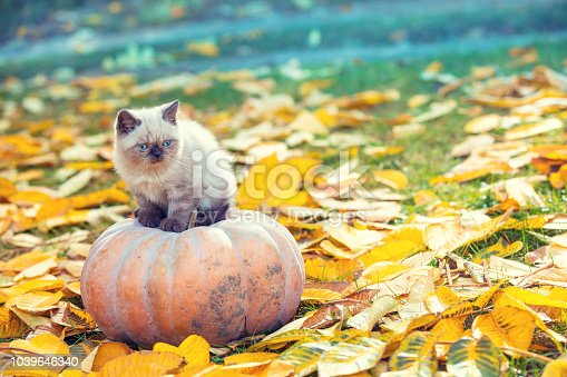 istock A little kitten sitting on a large pumpkin in the garden on autumn yellow leaves in autumn 1039646340