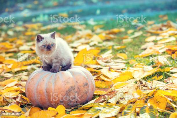 Little kitten sitting on a large pumpkin in the garden on autumn in picture id1039646340?b=1&k=6&m=1039646340&s=612x612&h=dhea rkkslewehf wvbqlcgmpuhkwn4grdadsvuk9nu=