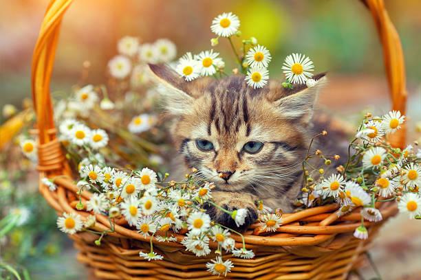 Little kitten sitting outdoors in the basket with flowers picture id496408716?b=1&k=6&m=496408716&s=612x612&w=0&h=dcuqu gfzl0mnobo1fed3cvissma7vme3jogatgnhxu=
