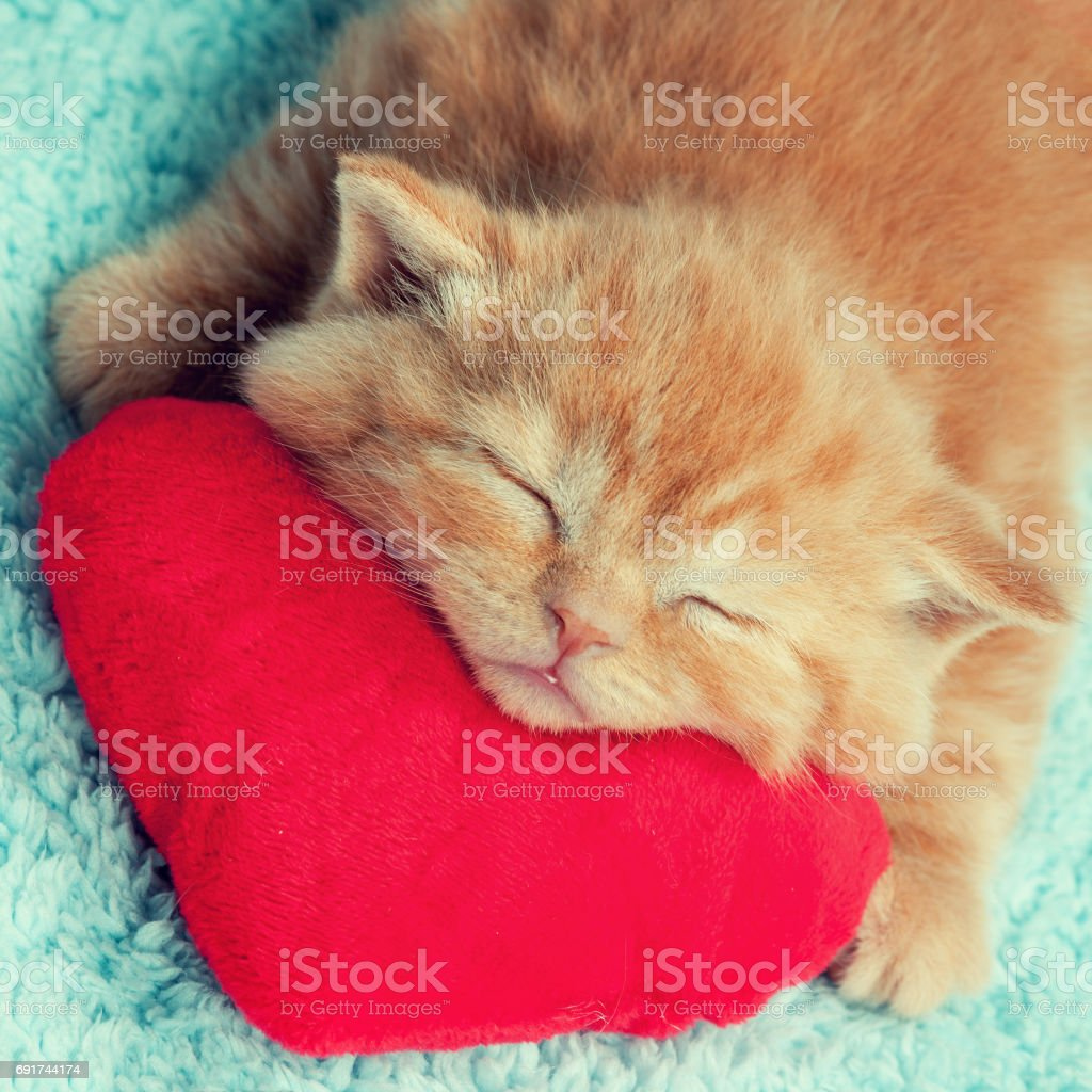 Royalty Free Kitten Cute Valentines Day Domestic Cat Pictures