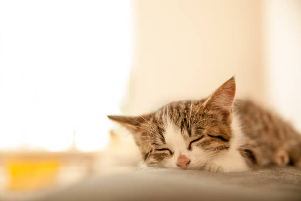 Little kitten sleeps on a coverlet small cat sleeps sweetly as a bed picture id860278582?b=1&k=6&m=860278582&s=612x612&w=0&h= hcan8v92cx ve4yp7por25lnxlogsn5uimyztpew0i=