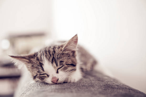 Little kitten sleeps on a coverlet small cat sleeps sweetly as a bed picture id860278640?b=1&k=6&m=860278640&s=612x612&w=0&h=u3wvybln3oudhuectag9nerq00m93anhl1zitfk5rqk=
