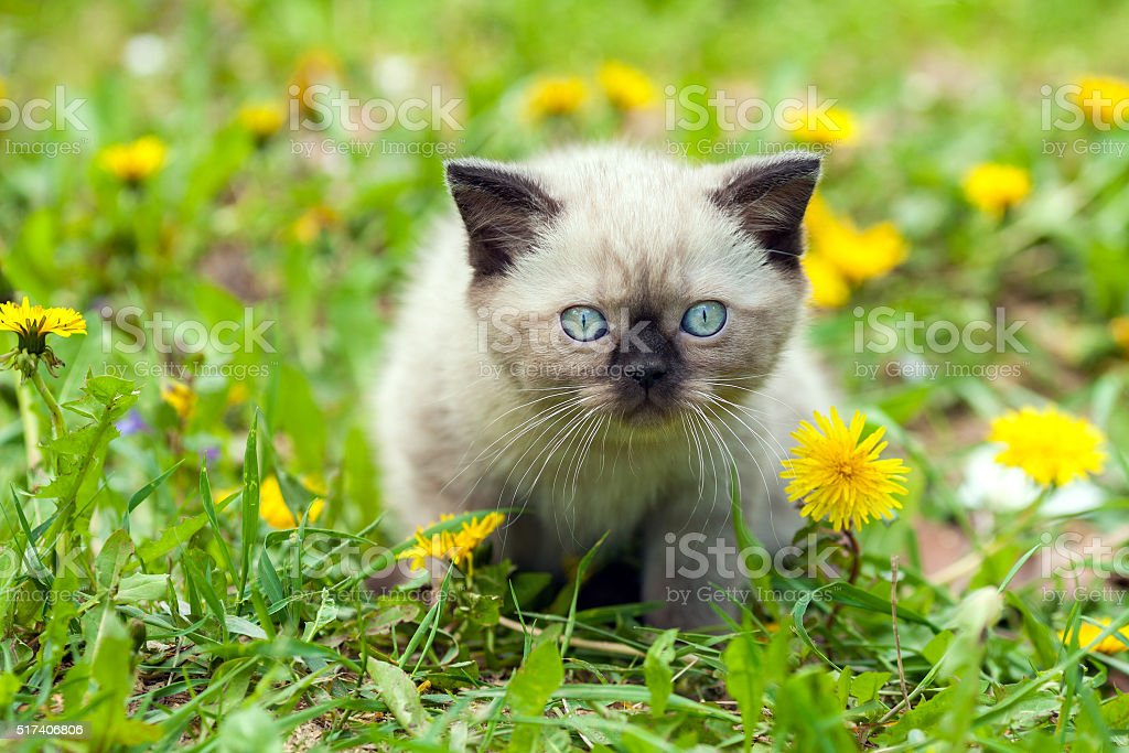 Little kitten walking in dandelion lawn stock photo
