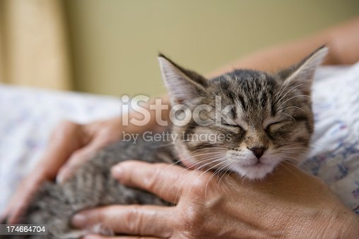 Grey Tabby Kitten feeling safe and protected, falls asleep in the hands of an elderly woman owner. Image shows portrait of the cat and only the elderly woman's hand and torso area