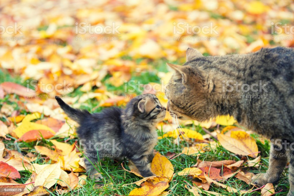 Little kitten with mother cat in a garden on fallen leaves in autumn - foto stock
