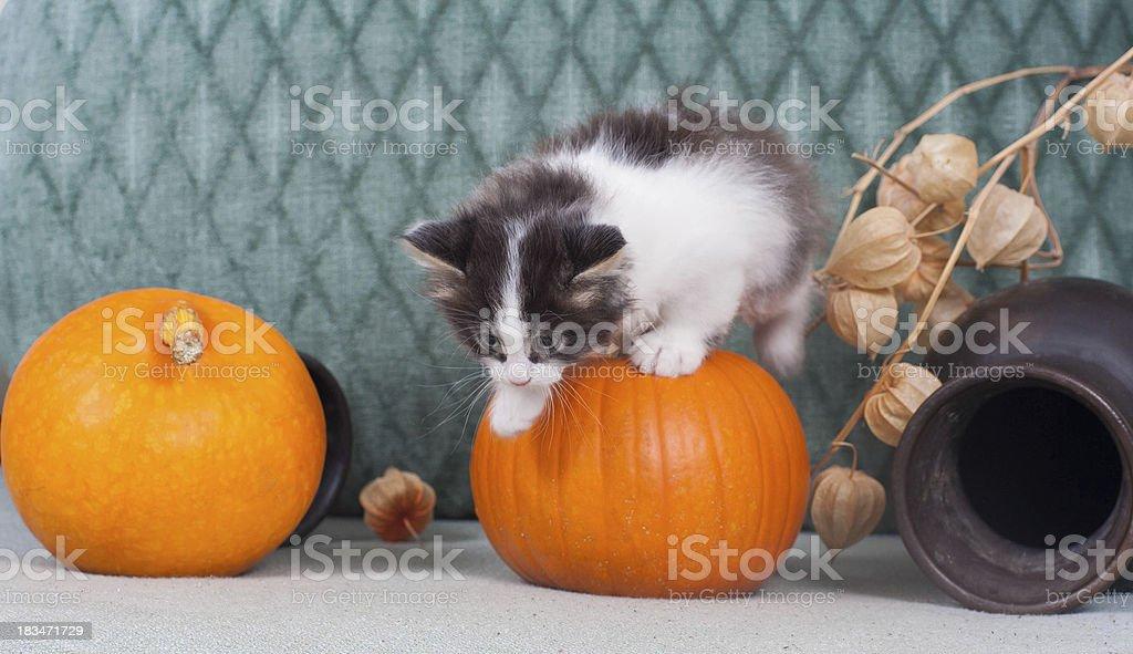 Little kitten with pumpkins royalty-free stock photo